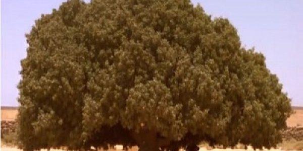 মরুভূমিতে আজো দাঁড়িয়ে আছে নবীজীকে (সা.) ছায়াদানকারী সেই গাছ