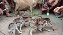 লালমনিরহাটে একটি ছাগলের ৮ টি বাচ্চা